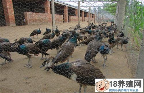 蓝孔雀的繁育技术