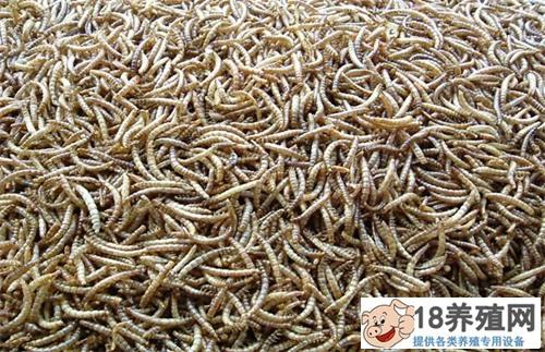 黄粉虫可以饲养哪些经济型动物(2)