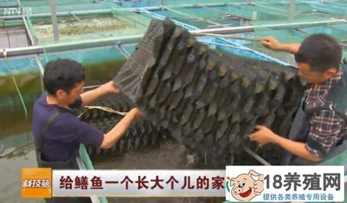 王忠华用鳝巢养黄鳝:给鳝鱼一个长大个儿的家