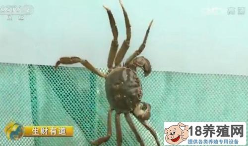 苏州东山镇徐俊养殖太湖大闸蟹年产值上千万元