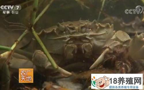 仿野生养殖大闸蟹提早上市有妙招