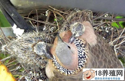 如何人工养殖斑鸠