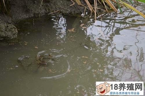 一举两得之稻田养殖泥鳅技术