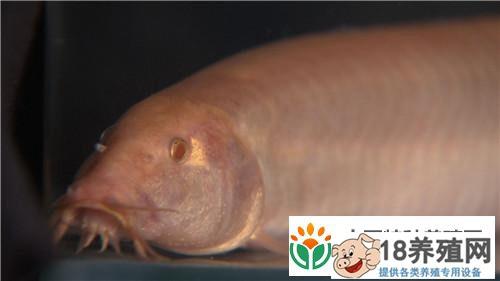 潘磊养红色泥鳅年入3000万的秘密(3)