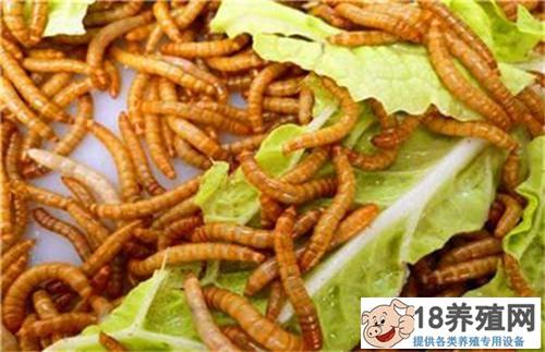 黄粉虫吃什么饲料