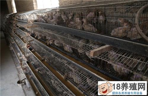 鹌鹑养殖基地的前期准备工作(2)