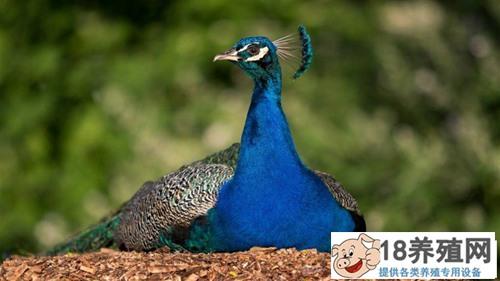蓝孔雀繁育技术