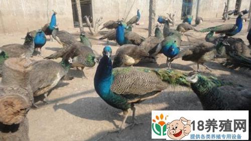 蓝孔雀的配种及孵化