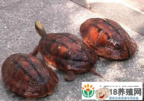 江门:龟鳖养殖户约5千家年产值10亿元
