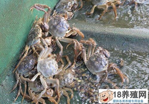 怎样养螃蟹?养殖大规格螃蟹的四个建议