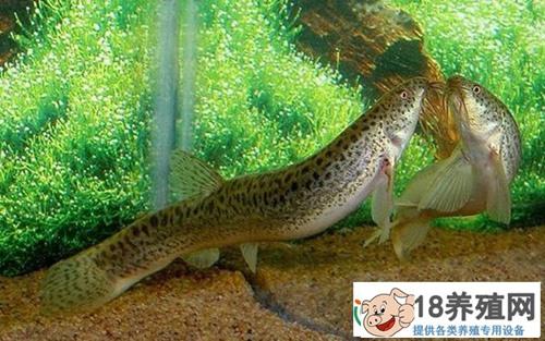 无土泥鳅养殖技术 再创泥鳅高产新方式