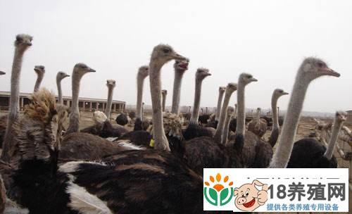 非洲鸵鸟人工养殖技术