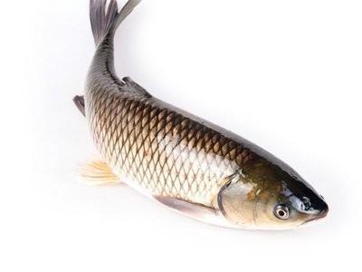 草鱼卖高档鱼价!猪价暴跌导致鱼价大幅下跌?全国缺鱼,市场前景依然看涨!