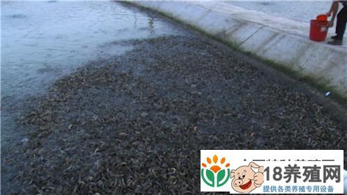 江西赣州杨丽养殖泥鳅 富家女遇到用钱解决不了的事之后(3)