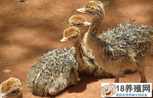鸵鸟育雏的养殖方法