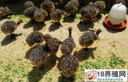 鸵鸟育雏的养殖方法(2)