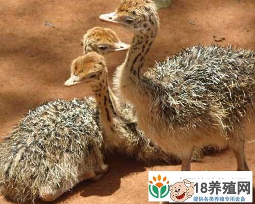鸵鸟出雏期的养殖管理