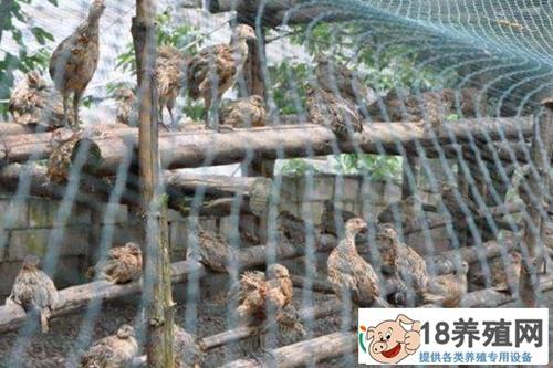 如何养好斑鸠(2)