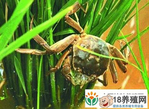 水稻田里放养螃蟹一亩地利润增收300元