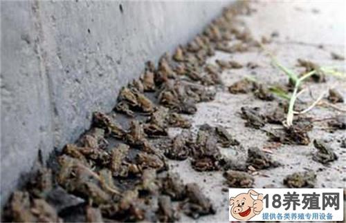 蟾蜍养殖中的常见疾病与防治办法
