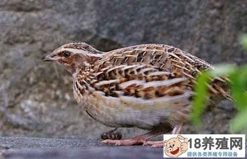 鹌鹑鸟养殖技术与育雏管理