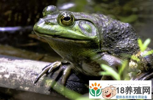 吃牛蛙感染寄生虫的几率大吗?