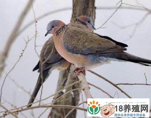 斑鸠人工养殖模式(2)