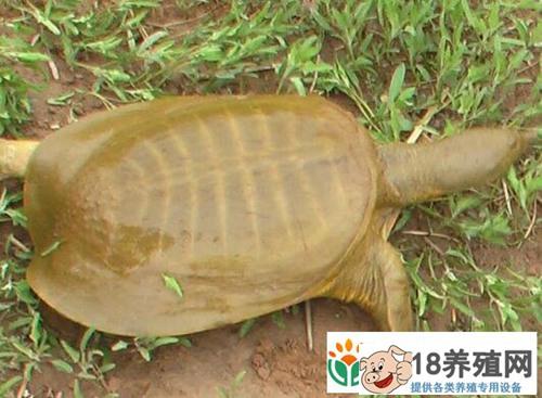 黄河鳖(甲鱼)养殖技术(2)