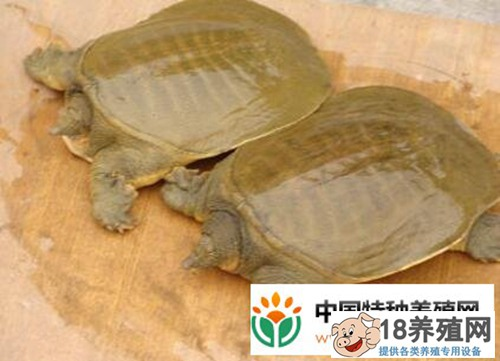 黄河鳖(甲鱼)养殖技术