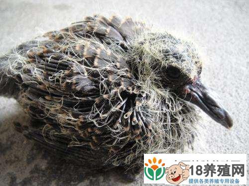家养斑鸠的饲养技巧(2)