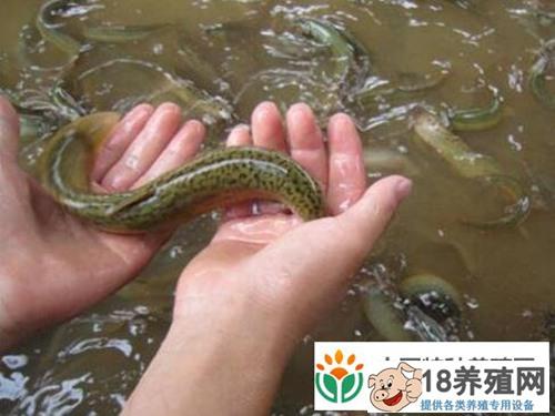 攻克杂交泥鳅育苗难关 重庆刘涛生态泥鳅销出国门