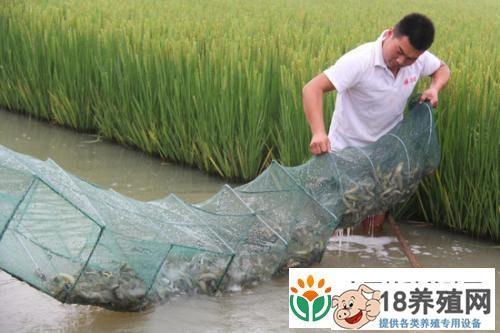 稻田养殖泥鳅技术要点