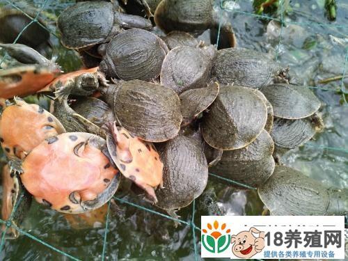 幼鳖池塘养殖管理技术要点(2)