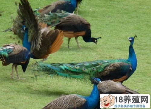 蓝孔雀的孵化条件