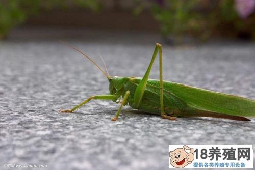 蝗虫的寿命和危害防控