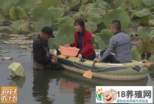 荷塘里养殖小龙虾和泥鳅亩产值超过1万元