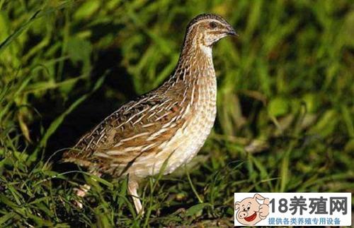 鹌鹑鸟养殖技术介绍(2)