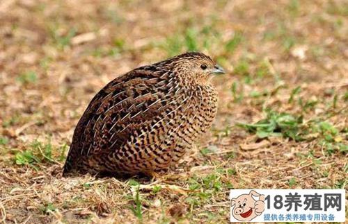 鹌鹑鸟养殖技术介绍