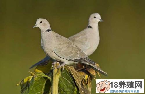 斑鸠养殖 斑鸠如何分辨公母?