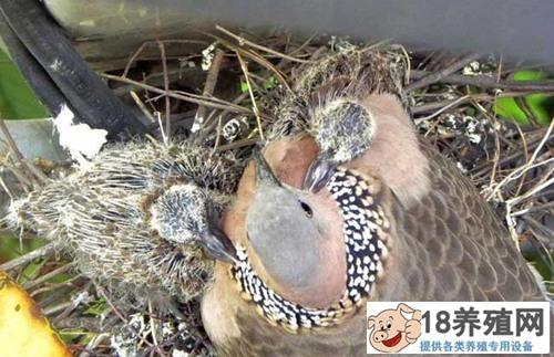 斑鸠养殖 斑鸠如何分辨公母?(2)
