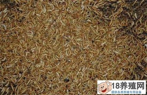 黄粉虫养殖之疾病的防治(2)