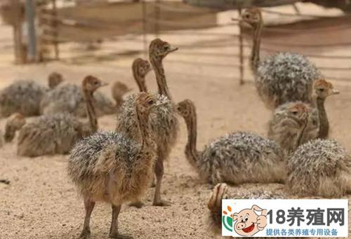 鸵鸟苗的饲养管理