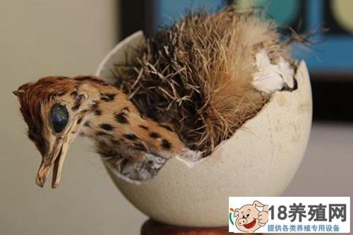 鸵鸟苗的饲养管理(2)