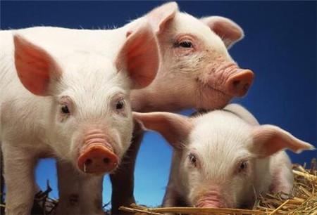 新冠肺炎疫情下上半年生猪价格走势最新分析!