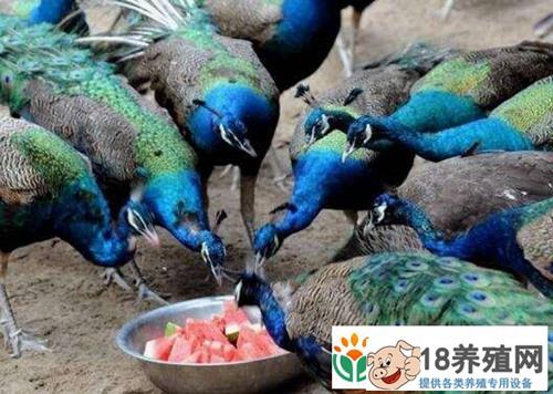 孔雀各阶段饲养管理技术(2)