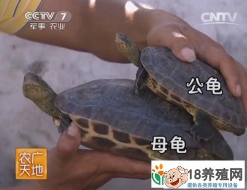 中华花龟养殖技术视频
