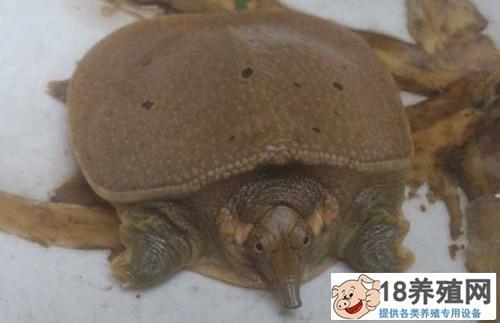 甲鱼养殖白底板病红脖子病疖疮病腮腺炎的防治方法