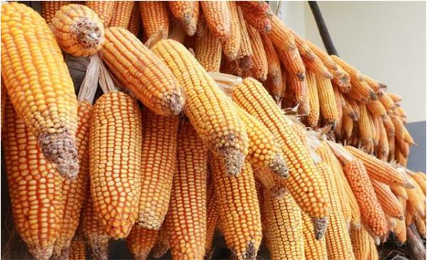 玉米市场会一直保持负值吗?