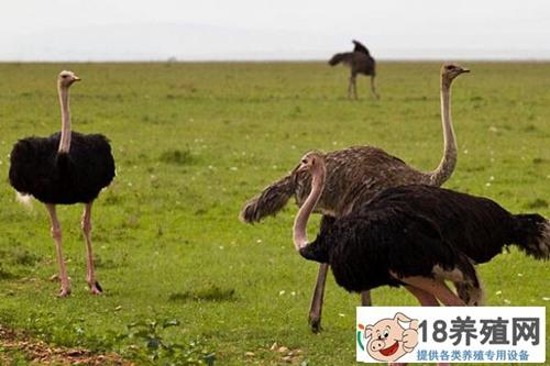 鸵鸟吃什么东西 鸵鸟饲料配方