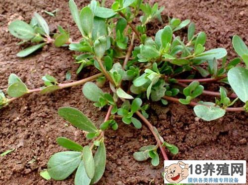 蚂蚱菜的功效与作用